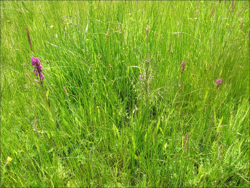 "Habitat of Dactylorhiza praetermissa (wet meadows in ""het Springendal"" )"