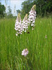 Dactylorhiza maculata (het Springendal )