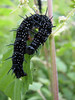 Caterpillar of the Inachis io,  Peacock,(NL: rups van de dagpauwoog) (Korenburgerveen, Winterswijk)