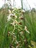 Platanthera biflolia (Korenburgerveen, Winterswijk)