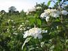 Viburnum opulus, (NL: Gelderse roos)