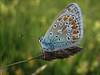 Polyommatus icarus, Common Blue,  (NL: Icarus blauwtje)