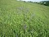 Salvia pratensis, habitat