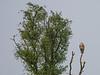 Circaëtus gallicus