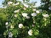 Rosa rubiginosa (NL: egelantier)