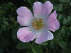 Rosa rubiginosa (NL: egelantier) close up