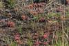 Drosera intermedia