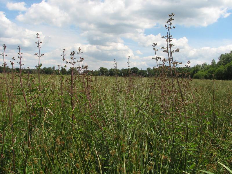 habitat of Scrophularia nodosa, (NL: knopig helmkruid)(Leender forest near the abbey of Achel)