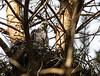Accipiter nisus