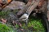 Parus palustris