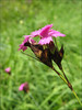Dianthus carthusianorum (NL: Karthuizer anjer)