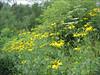 Rudbeckia laciniata    (non native, (America))