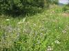 Habitat of Geranium pratense