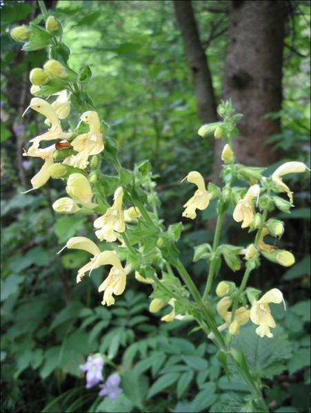 Salvia glutinosa (NL: kleverige salie)