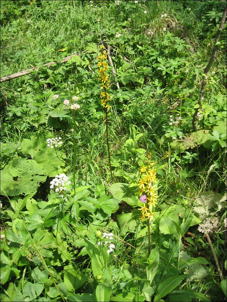 habitat of Ligularia sibirica