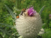 Cirsium eriophorum subs. eriophorum    (close up bud)