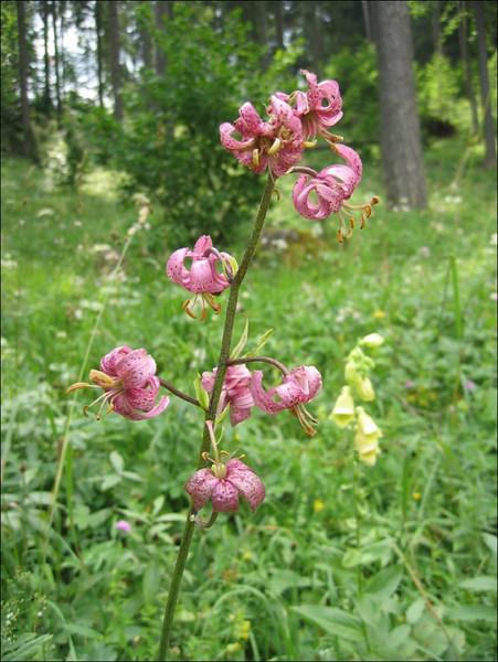 Lilium martagon    (NL: Turkse lelie)