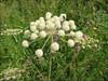 Angelica sylvestris     (NL: gewone engelwortel)