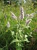 Mentha longifolia (NL: hertsmunt)