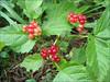 Rubus saxatilis    (NL: steenbraam)