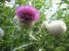 Cirsium eriophorum subs. eriophorum    (NL: wollige distel)