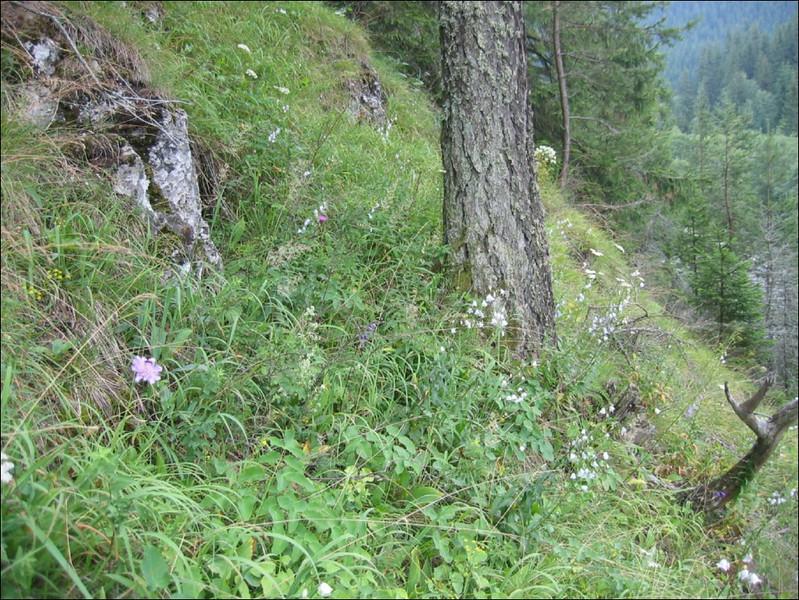 slope habitat of Adenophora liliifolia