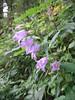 Campanula trachelium (NL: ruig klokje)