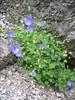 Campanula carpatica    (NL: Karpaten klokje)