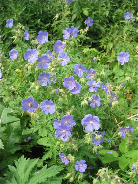 Geranium pratense (NL: beemdooievaarsbek)