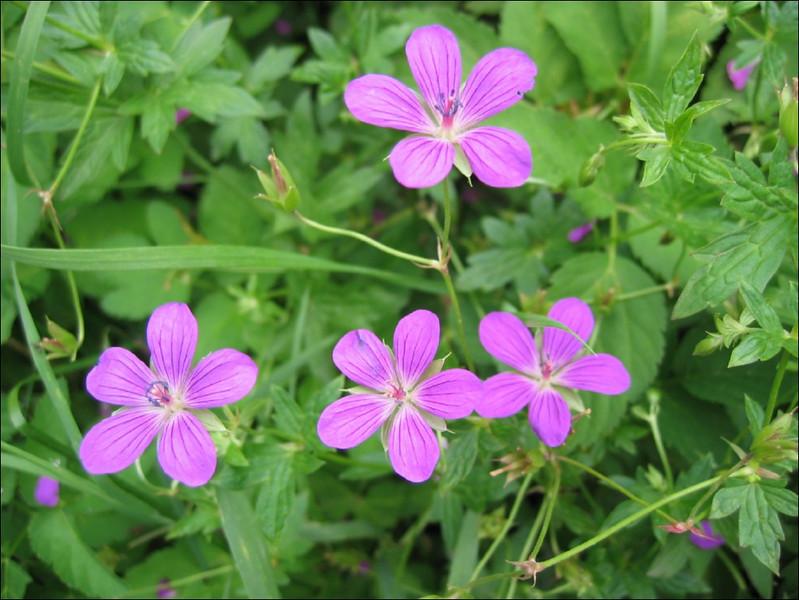 Geranium palustre    (NL: moerasooievaarsbek)