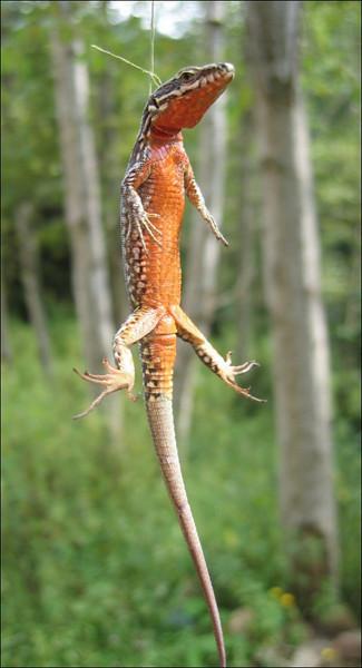 Podarcis spec. wall lizard spec.(NL: muurhagedissoort)
