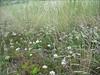 habitat of Allium spec.