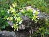 Teucrium montanum (NL: berggamander)
