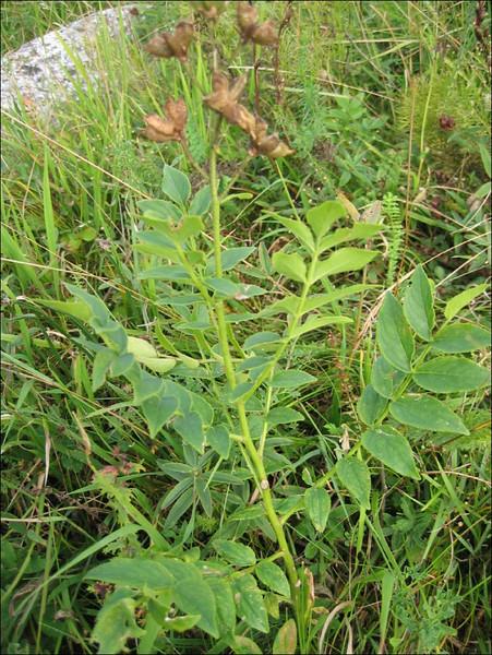 Dictamnus albus,   out of flower, (NL: vuurwerkplant)