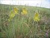Allium flavum     (NL: gele ui)