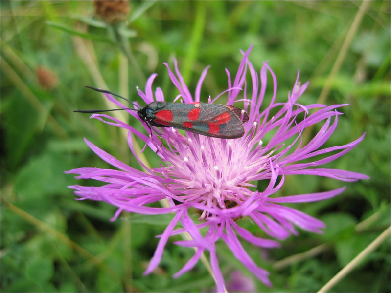 Zygaena spec.        (NL: insect, bloeddrupje)
