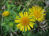 close up, Inula britannica     (NL: Engelse alant)