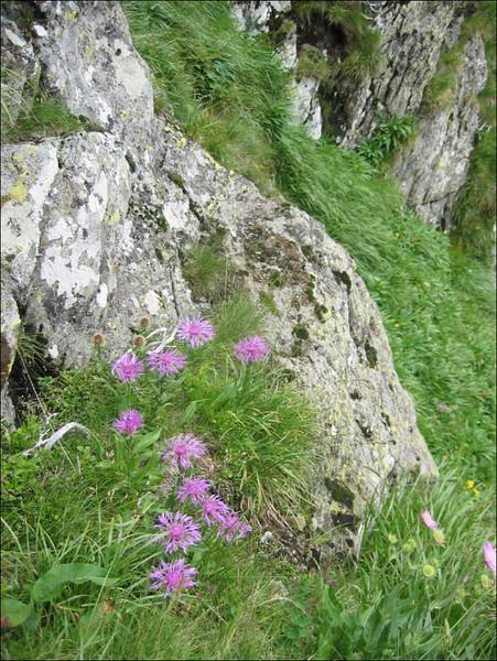 Centaurea nervosa    (habitat)