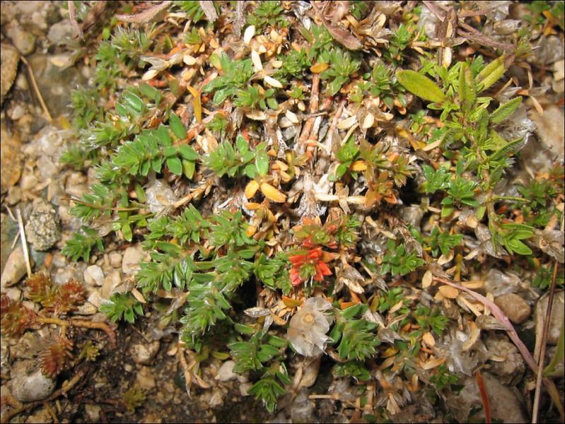 Paronychia cephalotes    (NL: papierbloem)