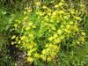 Saxifraga aizoides     (NL: gele bergsteenbreek)