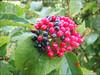 Viburnum lanata      (fruit)
