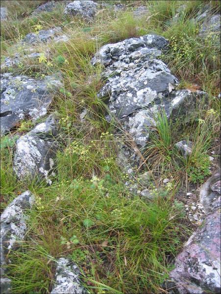 habitat of Allium flavum ( Turzii gorge)