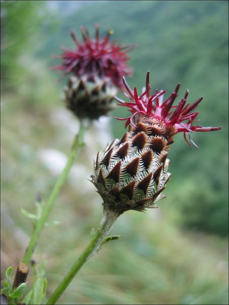 Centaurea atropurpurea (NL: centaurie)