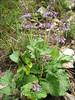 Salvia verticillata  (NL: kranssalie)