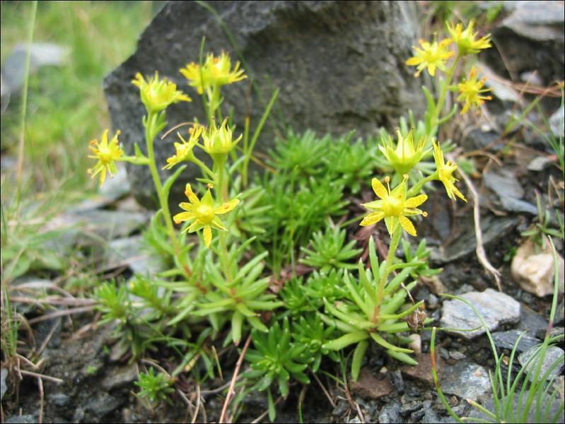 Saxifraga aizoides     (gele bergsteenbreek)