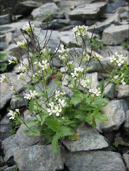 Arabis alpina                         (NL: Alpen scheefkelk)