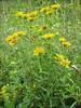 habitat of Inula britannica     (NL: Engelse alant)