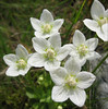 Parnassia palustris (close up flowers)