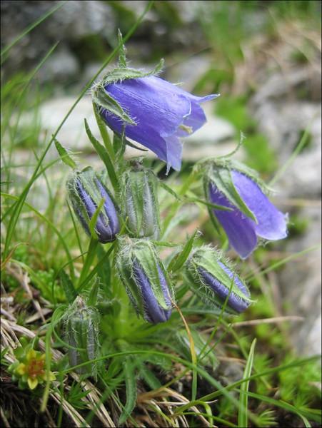 Campanula alpina    (NL: Alpenklokje)