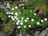 Tripleurospermum spec.